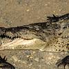 Crocodile,  Tarcoles River