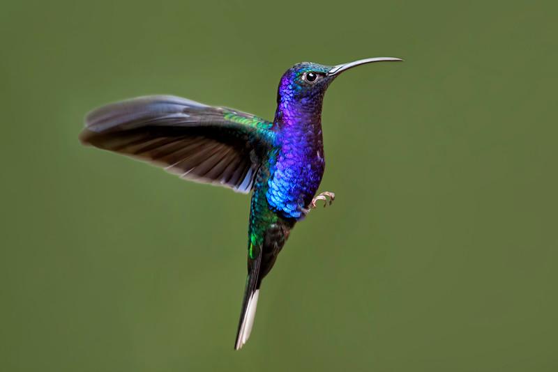 Violet Sabrewing Mid-Flight