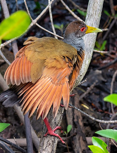 Gray-necked Wood-Rail - Aramides cajanea Photographed in Tortuguero National Park