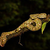 An adult green-phase Eyelash Pitviper.  Potentially deadly!