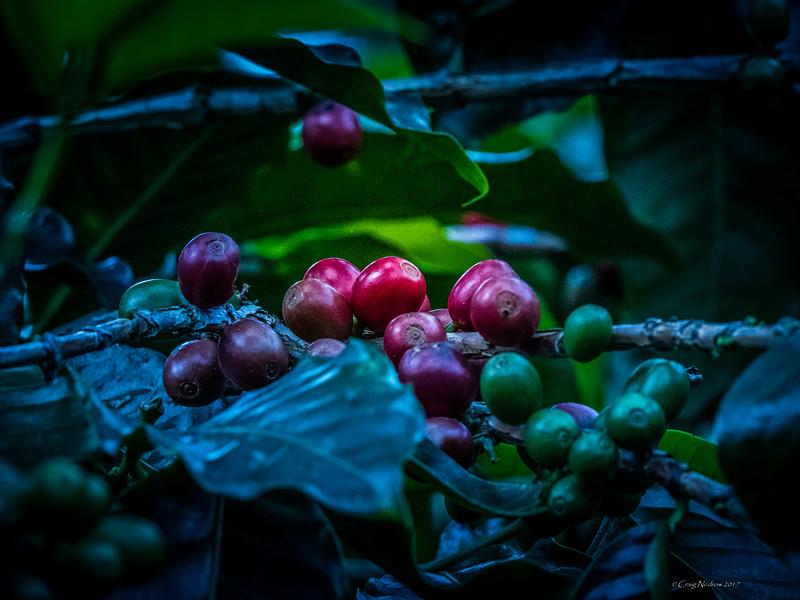 Coffee at Don Juan Plantation, Monteverde