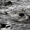 "In a New Light: Costa Rica - ""Plovers in Ocean"""