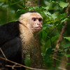A white faced capuchin monkey stops by at our hotel.
