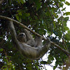 Three toed sloth in Manuel Antonio National Park