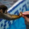 Squirrel monkey visiting La Posada.