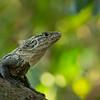Black Iguana at Manuel Antonio NP