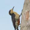 Yellow-naped Woodpecker