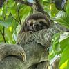 Three-toed Sloth at Manuel Antonio NP