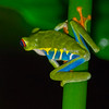 Red-Eyed Frog OIL3