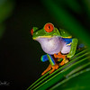 Red-Eyed Frog OIL