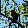 a capuchin monkey - we saw lots of these