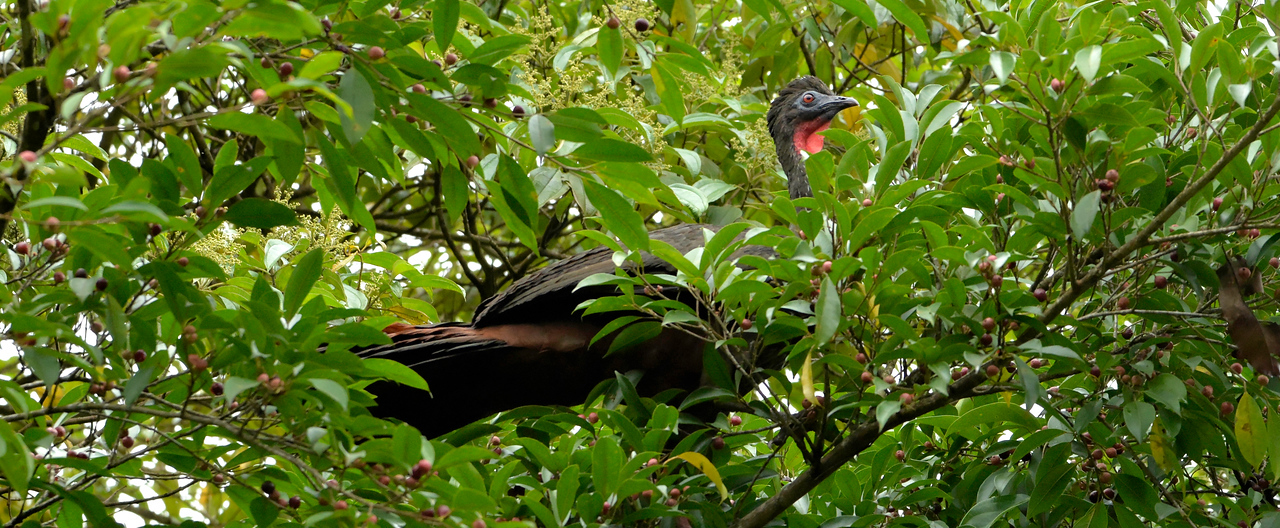 Crested Guan (male)