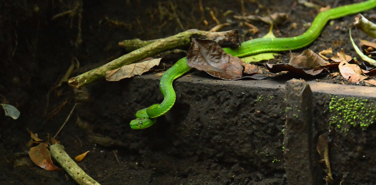 Stripped Green Palm Viper
