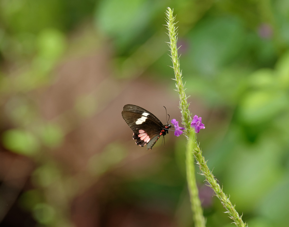 Arched-Wing Cattleheart Butterfly