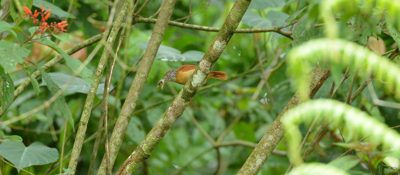 Barred Anshrike (female)