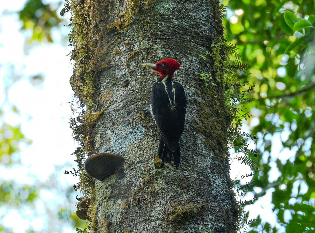 Pale Billed Woodpecker