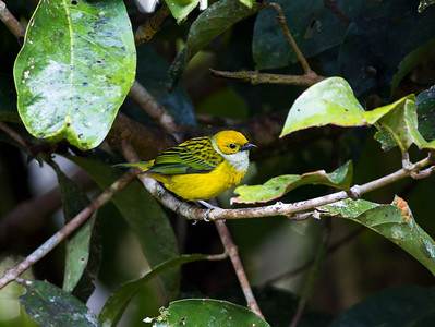 Silver-throated tanager at Pino Colina
