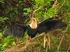 Anhinga juvenile wing drying, Selva Verde