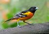 Baltimore Oriole, Rancho Naturalista