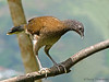 Gray-headed Chachalaca - Rancho Naturalista
