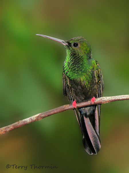 Bronze-tailed Plumeleteer - Rancho Naturalista