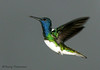 White-necked Jacobin - Rancho Naturalista