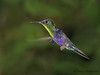 Violet-crowned Woodnymph in flight - Rancho Naturalista