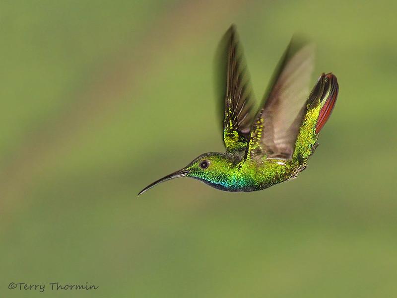Green-breasted Mango - Rancho Natrualista