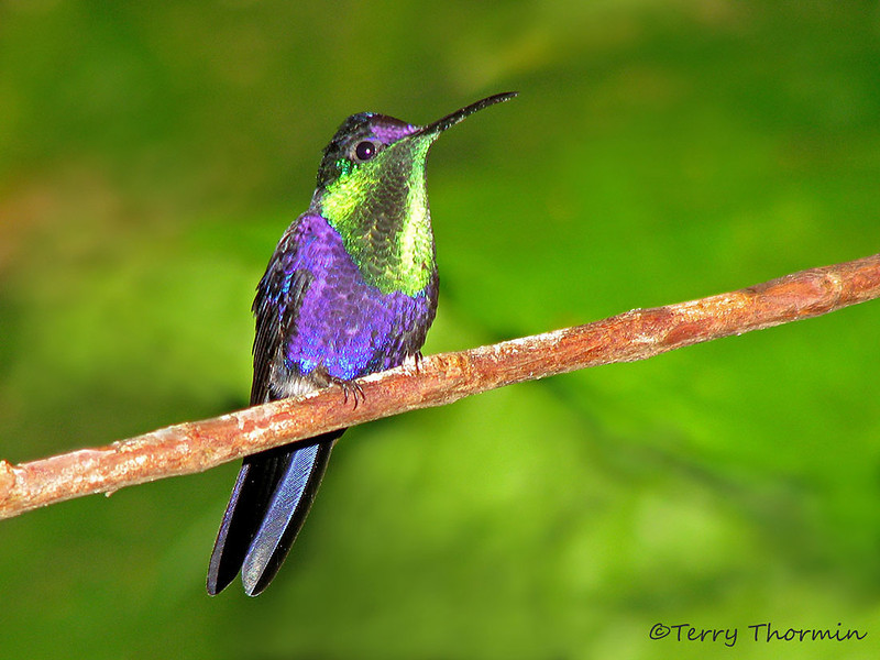 Violet-crowned Woodnymph - Rancho Naturalista