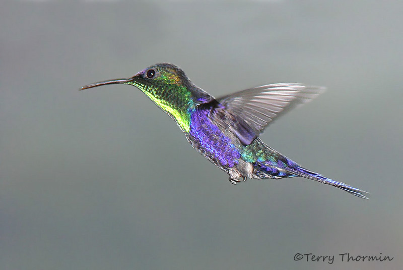 Violet-crowned Woodnymph in flight