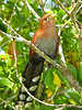 Squirrel Cuckoo - La Selva