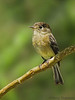 Black-caped Flycatcher - Savegre Mountain Lodge