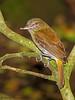 Bright-rumped Atilla - Selva verde