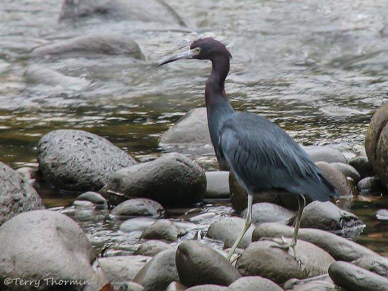 Little Blue Heron, Selva Verde