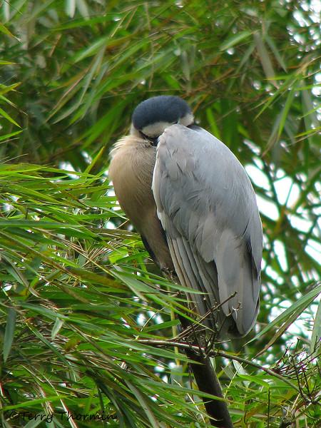 Boat-billed Heron - Rancho Naturalista
