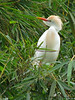 Cattle Egret - Rancho Naturalista