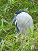 Boat-billed Heron - Rancho Naturalista