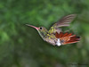 Rufous-tailed Hummingbird in fligh