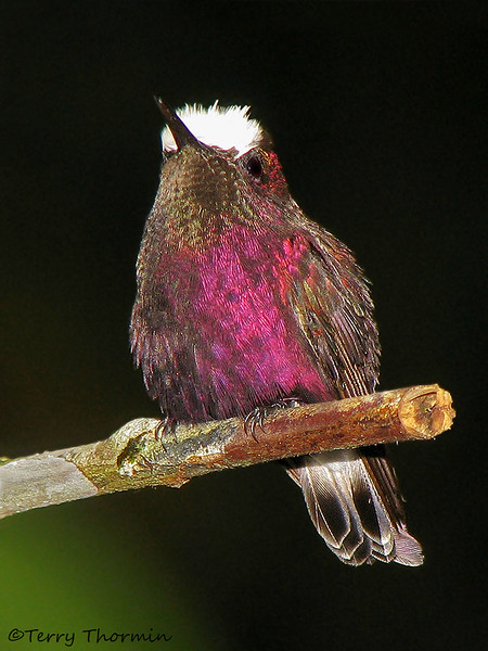 Snowcap - Rancho Naturalista