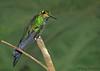 Green-crowned Brilliant juvenile - Rancho Naturalista