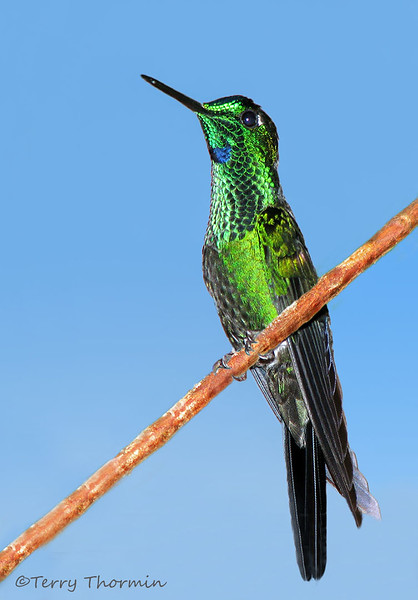 Green-crowned Brilliant - Rancho Naturalista