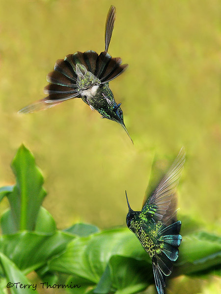 Green Violetears dogfighting - Savegre