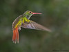 Rufous-tailed Hummingbird in flight - Rancho Naturalista