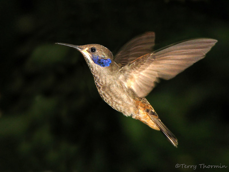 Brown Violetear - Rancho Naturalista