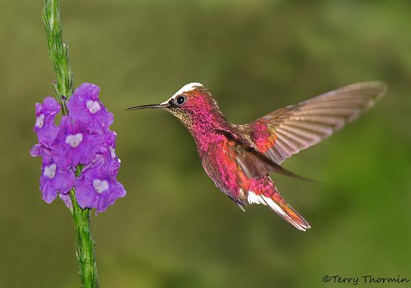 Costa Rica Hummingbirds