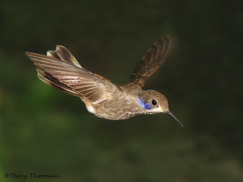 Brown Violetear in flight - Rancho Naturalista