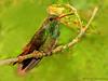 Rufous-tailed Hummingbird - Selva Verde