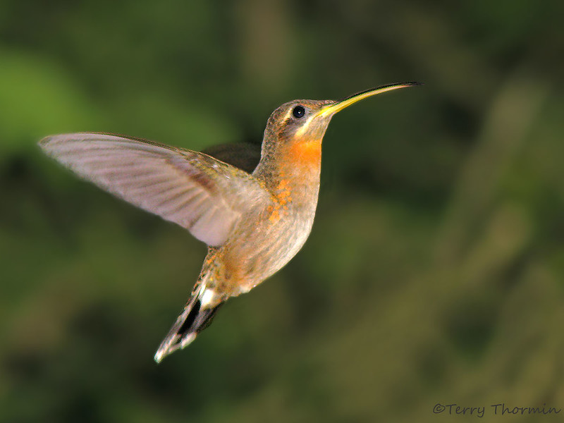 Band-tail Barbthroat in flight