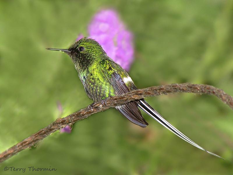 Green Thorntail - Rancho Naturalista