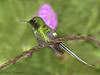 Green Thorntail - Rancho Naturalista